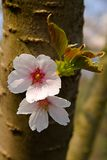 Ciliegia di fioritura Fotografie Stock