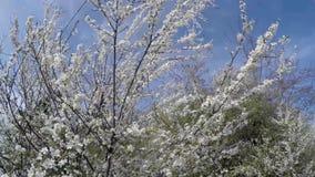 Ciliegia di fioritura alla luce solare sul fondo del cielo blu archivi video