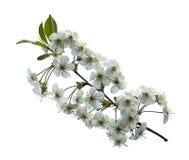 Ciliegia di fioritura del ramo Fotografie Stock Libere da Diritti