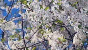 Ciliegia di fioritura della primavera stock footage
