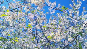 Ciliegia di fioritura della primavera video d archivio