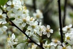 Ciliegia di fioritura Giardino della sorgente fotografie stock