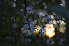 Ciliegia di fioritura nel tramonto Fotografia Stock