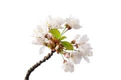 Ciliegia di fioritura (prunus avium) Fotografia Stock Libera da Diritti