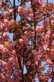 Ciliegia di fioritura sul fondo del cielo blu Fotografia Stock