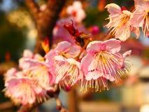 Ciliegia di fmacropetala di sargentii del Prunus (miyos) Fotografie Stock