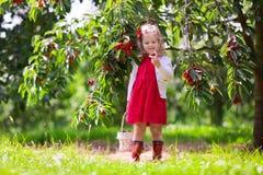 Ciliegia di raccolto della bambina Fotografia Stock Libera da Diritti