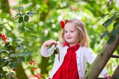 Ciliegia di raccolto della bambina Immagini Stock Libere da Diritti