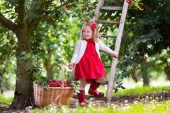 Ciliegia di raccolto della bambina Immagine Stock Libera da Diritti