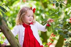 Ciliegia di raccolto della bambina Immagini Stock