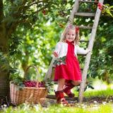 Ciliegia di raccolto della bambina Immagine Stock