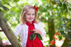 Ciliegia di raccolto della bambina Fotografie Stock