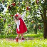 Ciliegia di raccolto della bambina Fotografia Stock
