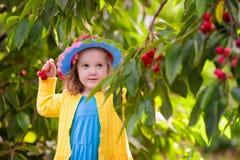 Ciliegia di raccolto della bambina dall'albero del giardino Immagini Stock