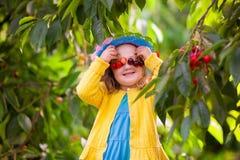 Ciliegia di raccolto della bambina dall'albero del giardino Fotografia Stock Libera da Diritti