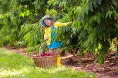 Ciliegia di raccolto della bambina dall'albero del giardino Immagini Stock Libere da Diritti