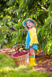 Ciliegia di raccolto della bambina dall'albero del giardino Fotografie Stock Libere da Diritti