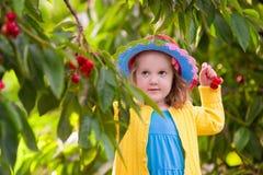Ciliegia di raccolto della bambina dall'albero del giardino Fotografia Stock