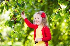 Ciliegia di raccolto della bambina nel giardino della frutta Immagini Stock
