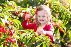 Ciliegia di raccolto della bambina nel giardino della frutta Fotografie Stock