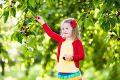 Ciliegia di raccolto della bambina nel giardino della frutta Fotografia Stock