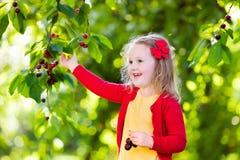 Ciliegia di raccolto della bambina nel giardino della frutta Immagine Stock