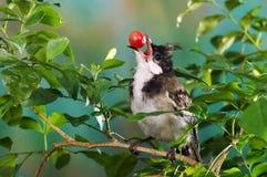 Ciliegia di uccello fotografie stock libere da diritti