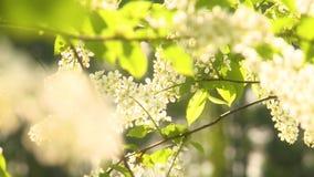 Ciliegia di uccello di fioritura archivi video