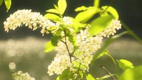 Ciliegia di uccello di fioritura stock footage