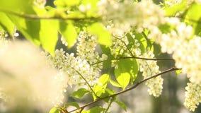 Ciliegia di uccello di fioritura video d archivio