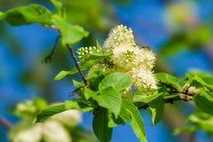 Ciliegia di uccello nella fioritura ed in un'ape Immagine Stock Libera da Diritti