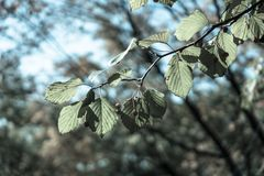 Ciliegia e foglie Immagine Stock Libera da Diritti