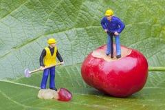 Ciliegia e lavoratori Immagini Stock Libere da Diritti