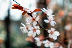 Ciliegia fiore-sakura Fotografia Stock Libera da Diritti