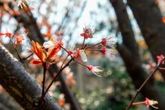 Ciliegia fiore-sakura Fotografie Stock