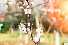 Ciliegia fiore-sakura fotografie stock libere da diritti