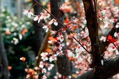 Ciliegia fiore-sakura Immagine Stock Libera da Diritti