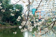 Ciliegia fiore-sakura Immagini Stock