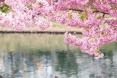 Ciliegia giapponese Fotografia Stock Libera da Diritti