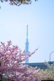 Ciliegia giapponese Fotografia Stock
