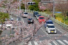 Ciliegia giapponese Fotografie Stock