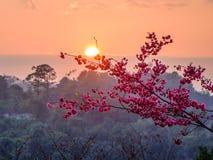 Ciliegia giapponese al tramonto in primavera Immagine Stock Libera da Diritti