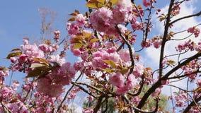 Ciliegia giapponese in fioritura