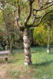 Ciliegia giapponese nel giardino botanico del parco dendrological il distretto di Arad - Romania di Macea Fotografia Stock Libera da Diritti