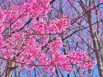 Ciliegia himalayana selvatica sull'albero immagine stock