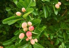 Ciliegia indiana o frutta di Carunda Karonda fotografia stock