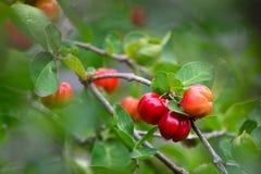 Ciliegia organica fresca del Acerola sull'albero immagini stock