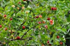 Ciliegia organica fresca del Acerola sull'albero fotografie stock