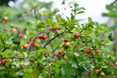 Ciliegia organica fresca del Acerola sull'albero fotografia stock