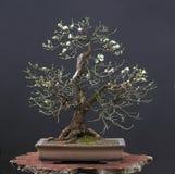 Ciliegia selvatica come bonsai in primavera Fotografie Stock Libere da Diritti